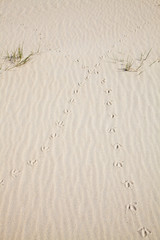 Tracks of a bird in the dunes