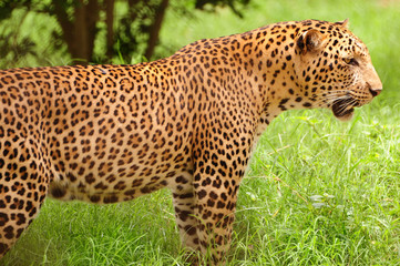 Leopard in the plains