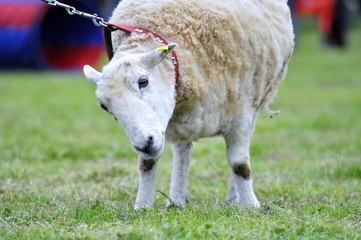 Prize sheep on leash