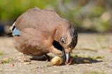 Vogel mit Erdnuss