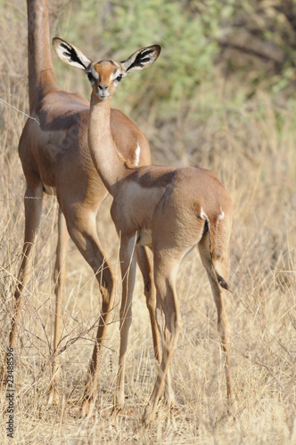 In de dag Antilope The Gerenuk (Litocranius walleri), Kenya, Africa
