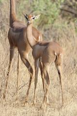 The Gerenuk (Litocranius walleri), Kenya, Africa