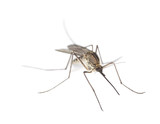 Mosquito isolated on white. - Fine Art prints