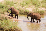 Two African elephants wading through a river poster