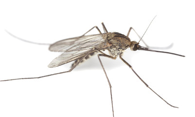 Mosquito isolated on white.