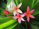 Fototapete Tropisch - Plumeria - Blume