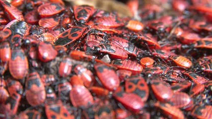 a pile of Pyrrhocoris apterus (firebug) close up