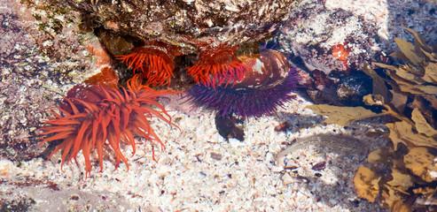 Bright orange sea anemone in a rock pool at the shore