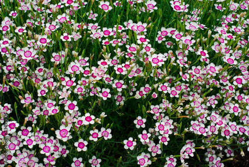Many Purple and White Phlox Flowers