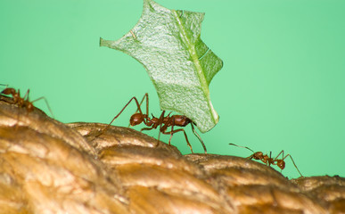 Leafcutter ant (Acromyrmex sp,) with leaf