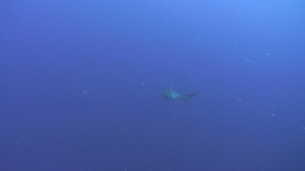 Silky Shark approaches camera