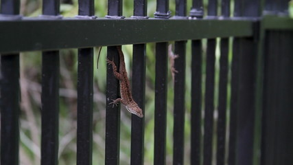 Male Lizard trying to attract Female
