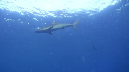 Silky Sharks at the ocean surface