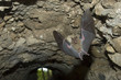 Jamaican Fruit Bat flying in cave under Maya in Tikal Guatemala.