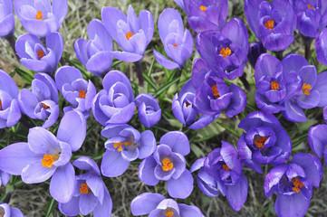 Blumen, Krokusse, Crocus