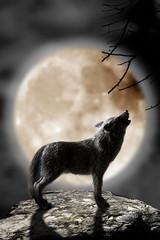 lobo aullando a la luna