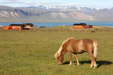 Iceland - Icelandic horse on Snaefellsnes poster