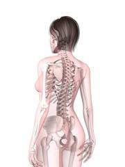 weibliches Skelett  - Rücken