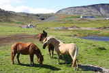 Icelandic horses on Snaefellsnes peninsula poster
