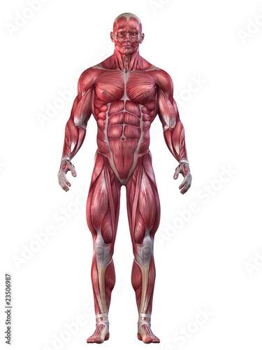 Bodybuilder - Anatomie