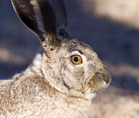Profile of a Jack Rabbit