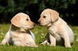 Zwei Labradorwelpen