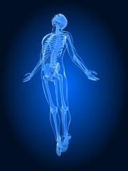 männliche Skelett - Anatomie
