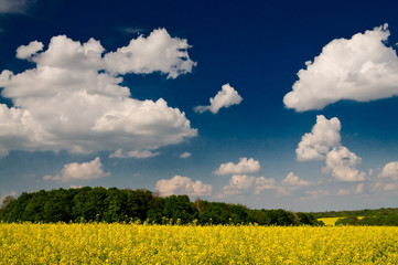 Wonderful golden rapeseed field and white clouds.
