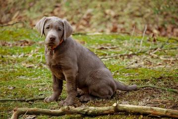 Posing silver lab puppy