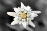Edelweiss (Leontopodium alpinum) - 23514301