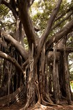 Giant ficus in the botanic garden of Palermo 2