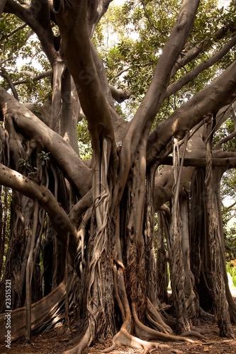 Gigantyczny ficus w ogródzie botanicznym Palermo 2
