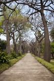 Typical trees from Peru, botanical garden, Sicily, Palermo