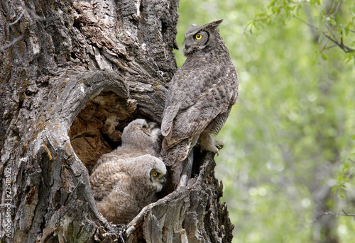Poster Uil Great Horned Owls