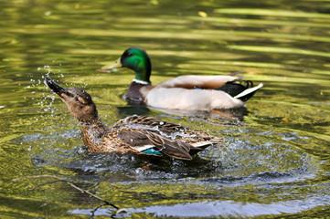 Wilde Enten sich putzend