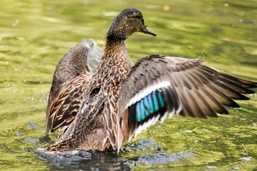 Wilde Ente sich putzend
