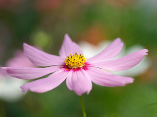 Kapmagerite rosa