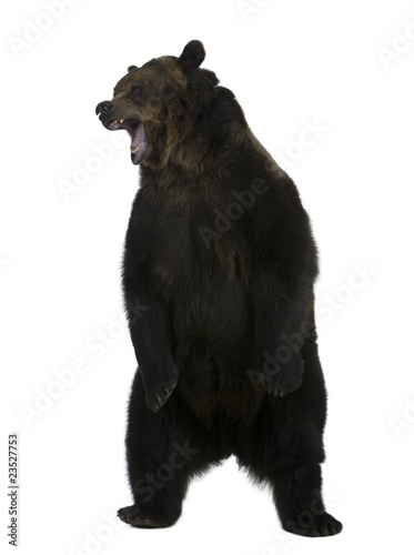 Grizzly bear, 10 years old, standing upright