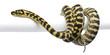 Morelia spilota variegata python, 1 year old, on pole