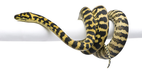 Morelia spilota variegata python, 1 year old, on pole