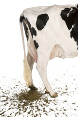 Holstein cow, 5 years old, defecating