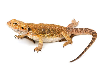 Lizard - isolated on white background and sharp