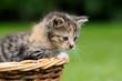 Katzenkind im Korb