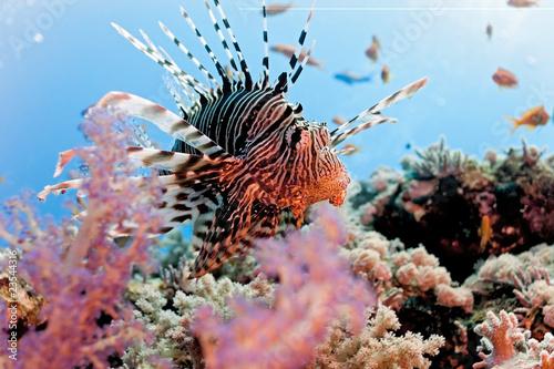 Lionfish na rafie koralowej