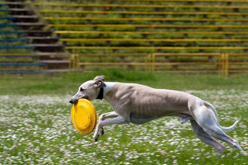 Frisbee catched (by dog)