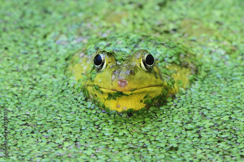 Papiers peints Grenouille Green Frog In A Pond