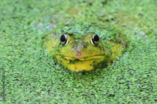 Poster Kikker Green Frog In A Pond
