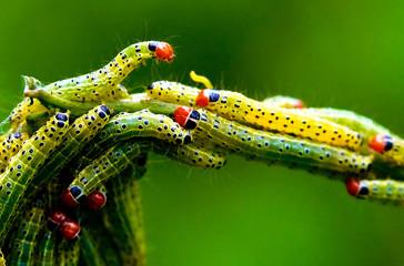 Green Worm,Caterpillar