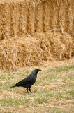 avian rook and straw bales poster