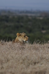 Lioness (Panthera leo) at Samburu National Reserve, Kenya